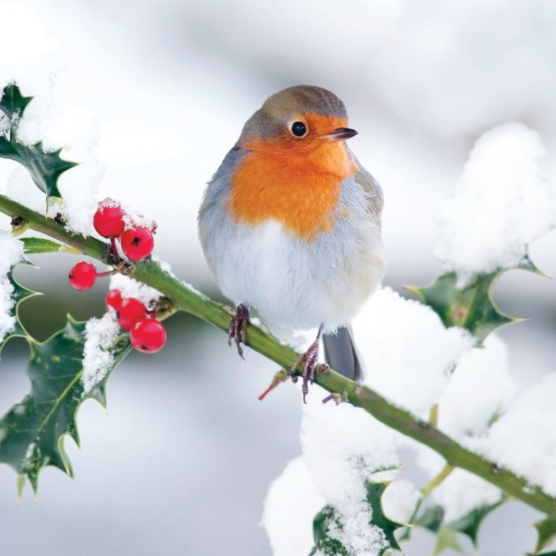Robin in the Snow CA1539