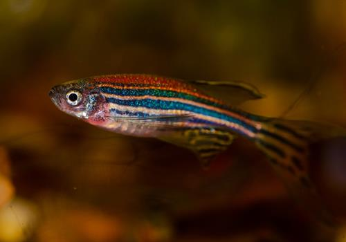 Zebrafish, cell senescence and drug resistance